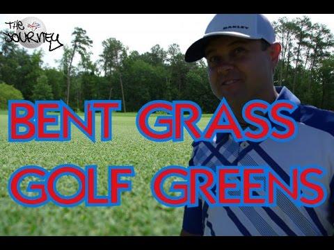 BENT GRASS GOLF GREENS