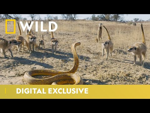 Cobra Vs. Meerkat   Wild Africa   National Geographic Wild UK
