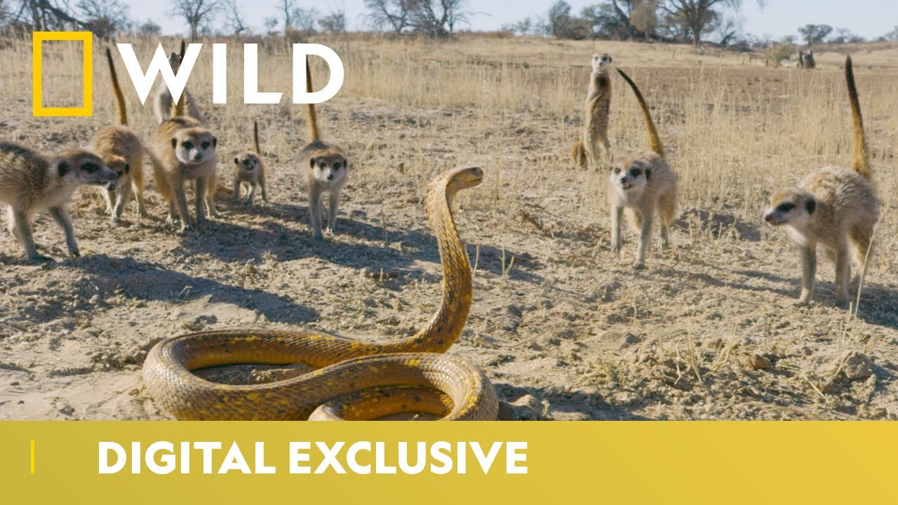 Cobra Vs. Meerkat | Wild Africa | National Geographic Wild UK