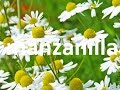 Plantas medicinales, la manzanilla