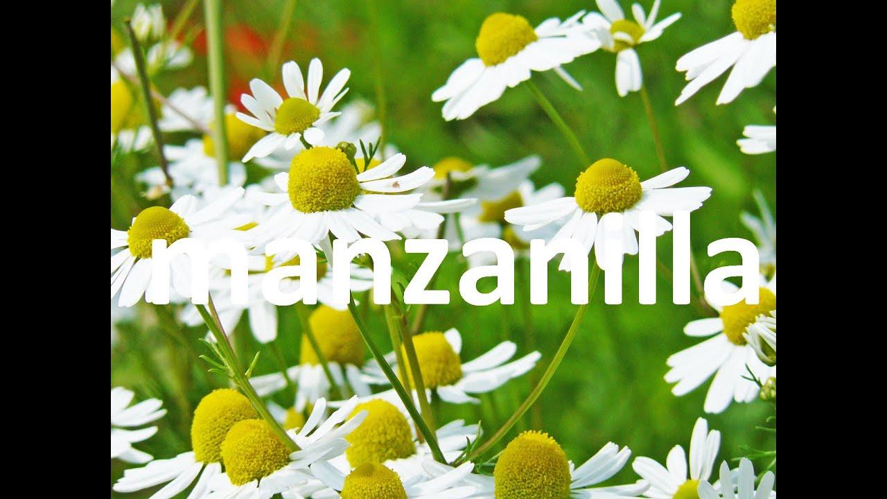 Plantas medicinales la manzanilla youtube for Plantas ornamentales y medicinales