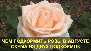 Чем Подкормить Розы в Августе - Лучшая Схема из Двух Подкормок