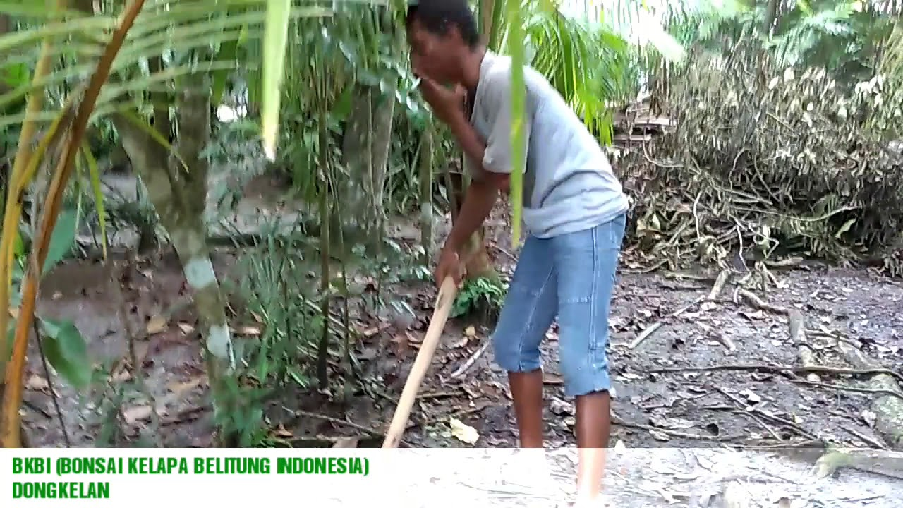 Bonsai Kelapa Belitung Indonesia Bkbi Youtube
