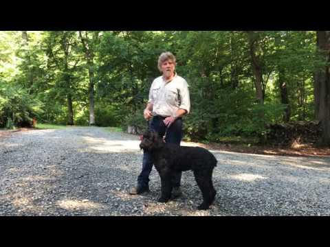 Schnoodle Puppy Training Lawsonville NC | Freddie