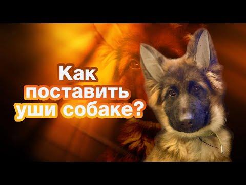 Как собаке поставить уши? / Легкий способ / Постановка ушей немецкой овчарке