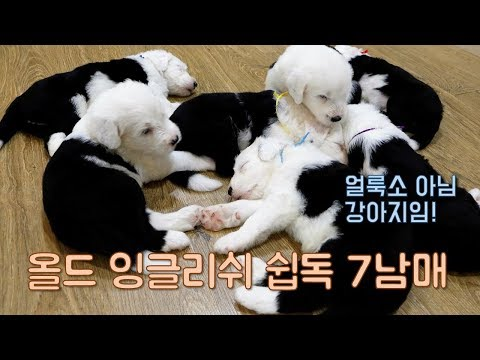 7 -  2 (Old English Sheepdog)