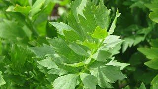 видео Барвинок: лечебные свойства и противопоказания травы