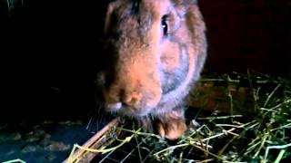 агрессивный кролик :D и смешной !(кролик., 2016-04-29T16:49:38.000Z)