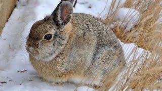 #2387. Кролики и зайцы (В мире животных)