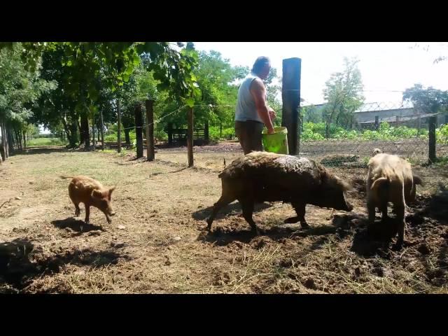 EkoloХЁki uzgoj svinja mangulica
