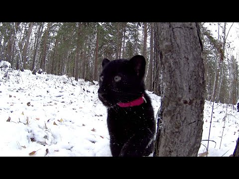 Walking with a leopard. Black panther kitten and rottweiler. Winter games