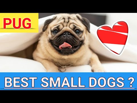 Know About Pug Dogs In Hindi - Pug Dogs Facts In Hindi - I LOVE DOGS