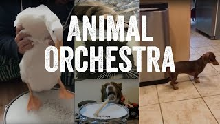 The Fabulous Animal Orchestra Supergroup – Song 1