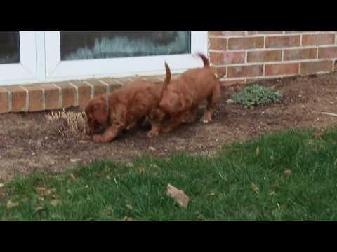 Cavapoo puppies for sale!!!