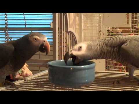 Timneh and Congo African Grey Eating
