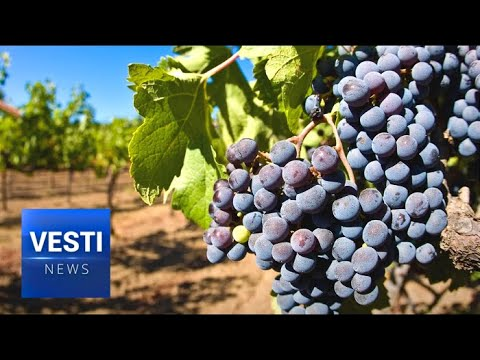 Russian Wine to Make a Comeback: Huge Expansion Planned for Krasnodar Vineyards