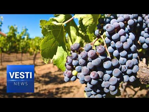 Russian Wine to Make a Comeback: Huge Expansion Planned for Krasnodar Vineyards
