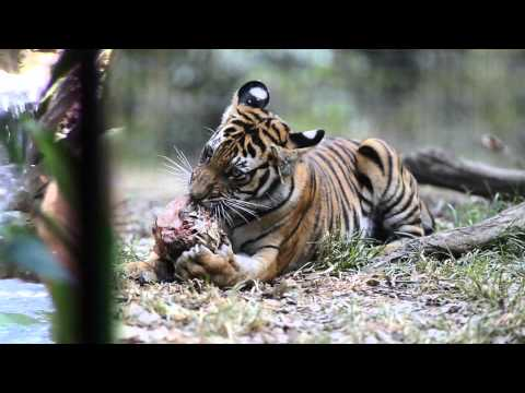 Watch Fresno zoo tiger cubs' growth through their first year