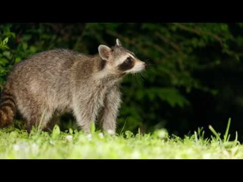 taking-photos-of-a-raccoon-and-opossum