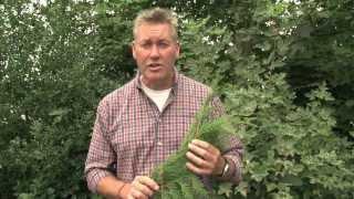Identifying Western Red Cedar