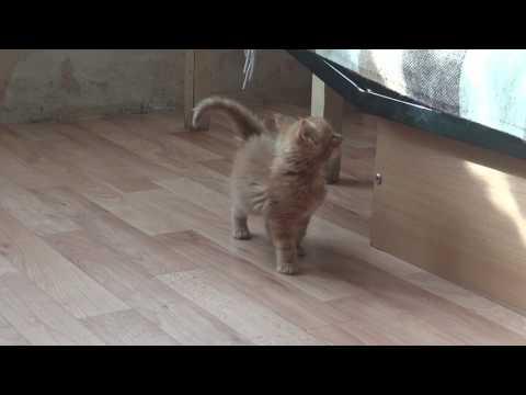 О питомнике британских кошек MystiCat House