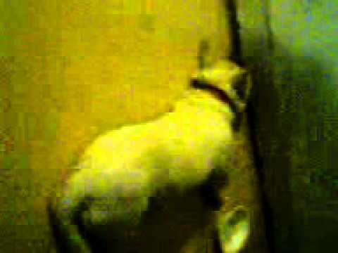 Stupid dog,running into wall