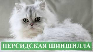 Персидская шиншилла кошка