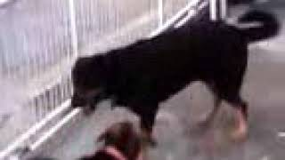 the dog v dog chase