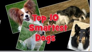 Top 10 Smartest Dog Breeds In The World -  Top Ten Stuffs
