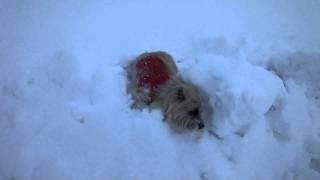 豪雪な日、お散歩へ行ったショコラは雪穴にはまってしまいました。出て...