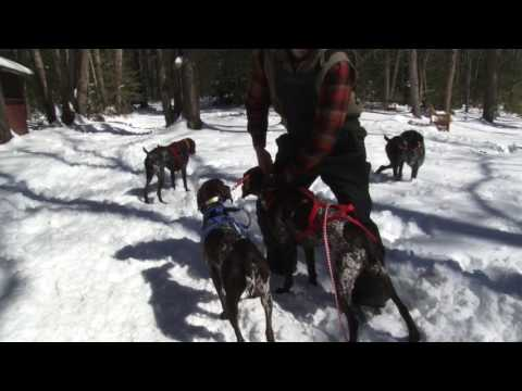 German Shorthaired Pointer Dog Sledding