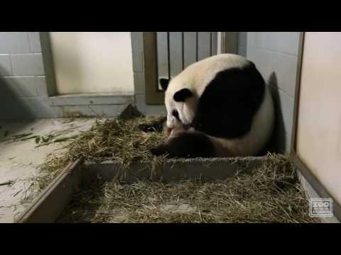 видео: Как Рожают Панды. Гигантская Панда Родила Близнецов