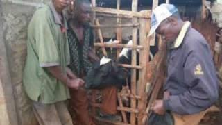 Repeat youtube video Einem Rind werden die Hoerner abgeschnitten