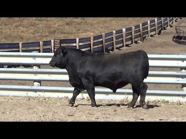 Connealy Angus Lot 131