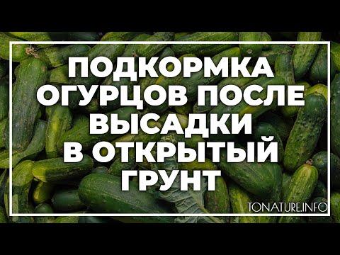 Подкормка огурцов после высадки в открытый грунт? | toNature.Info | размножение | ухаживать | вырастить | домашних | условия | огурцы | дома | усл | как | в