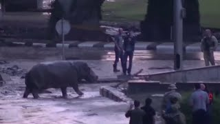 Hippo roaming streets in flooded Tbilisi, Georgia
