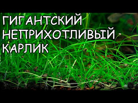 ВАЛЛИСНЕРИЯ НАНА. Vallisneria nana. СЕКРЕТЫ ВЫРАЩИВАНИЯ