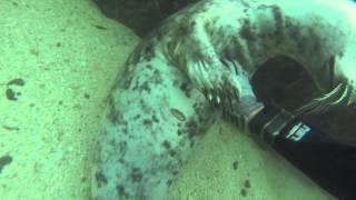 seal of approval - アザラシがダイバーにモフを強要する様がまさにCat!