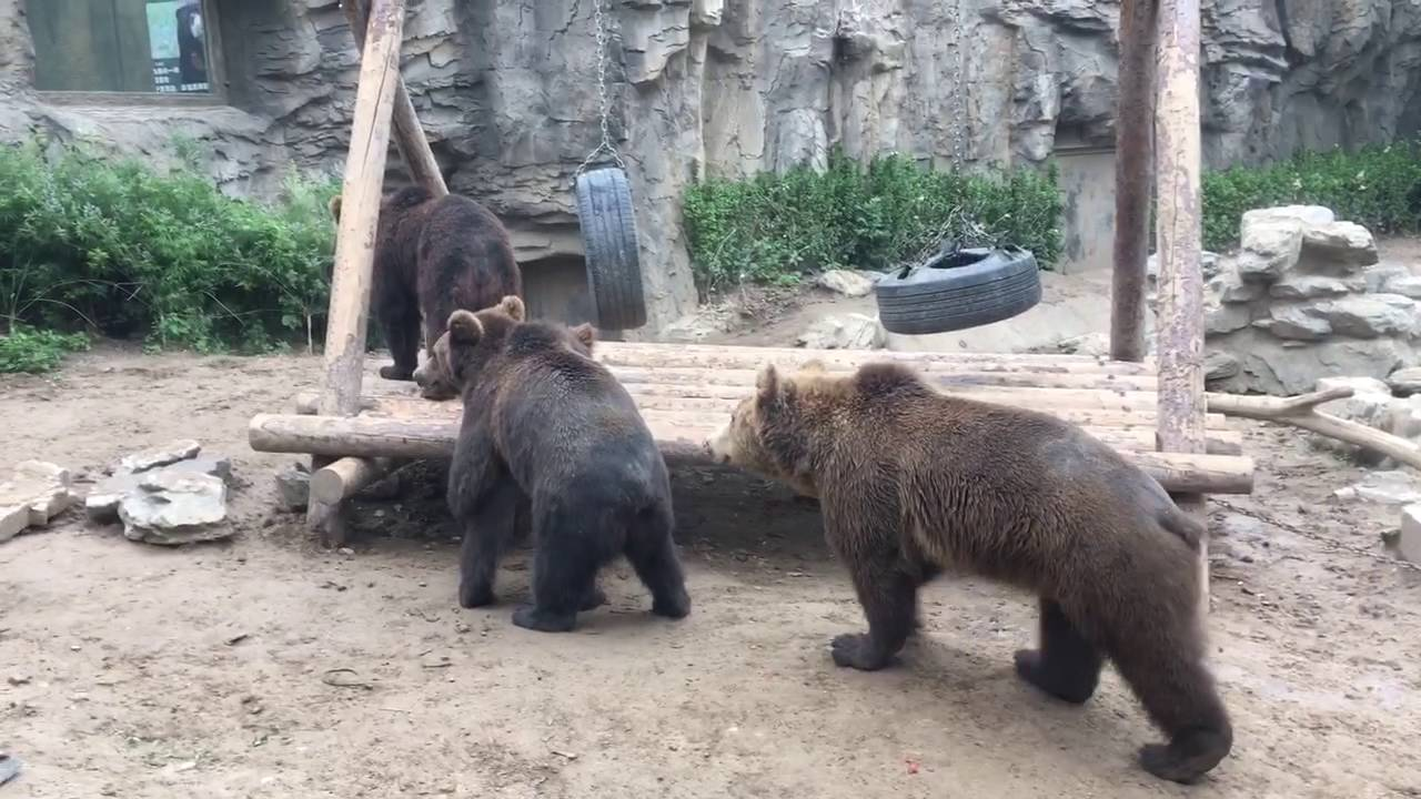 Two brown bears mating in Beijing Zoo   YouTube Two brown bears mating in Beijing Zoo