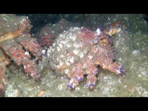 Adam McKenzie - Group of Pugent Sound King Crabs
