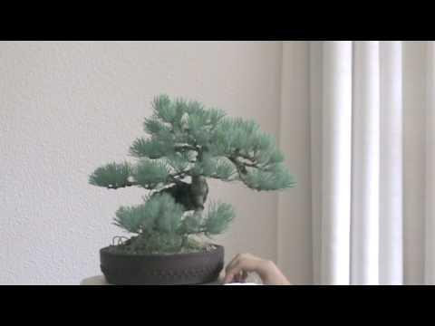 pinus parviflora schoons bonsai doovi. Black Bedroom Furniture Sets. Home Design Ideas