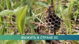 Почему осы, оводы и пчёлы «озверели» в сентябре?