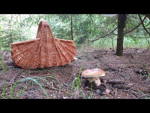 БЕЛЫЕ ГРИБЫ ПОЛЯНАМИ В ЕЛОВОМ ЛЕСУ! Сбор грибов в Подмосковье! Грибы 2020!