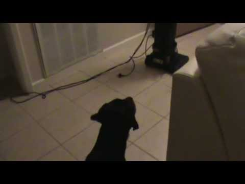 Dog HATES Vacuum - Rottweiler Growling and Barking - Rottie Puppy