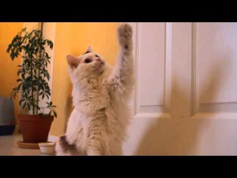 Ragdoll Cat Training Montage