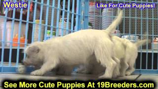 West Highland Terrier, Puppies , For, Sale, In Staten Island, New York, Ny, Brooklyn, County, Boroug