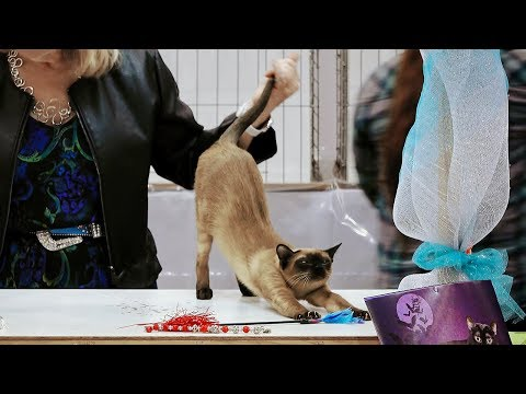 CFA International Show 2018 - Tonkinese kitten class judging