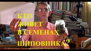 Кто Живет Внутри Семян Шиповника? 10.04.2015 by Entomologist in Ukraine(, 2015-04-17T13:57:26.000Z)