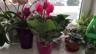 Что у меня сейчас цветет. Новая орхидея и цикломен.