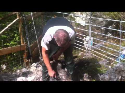 Shearing Old Norwegian Sheep